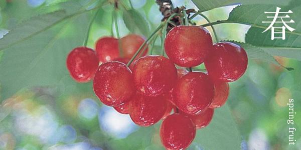 春の果物(さくらんぼ)の写真